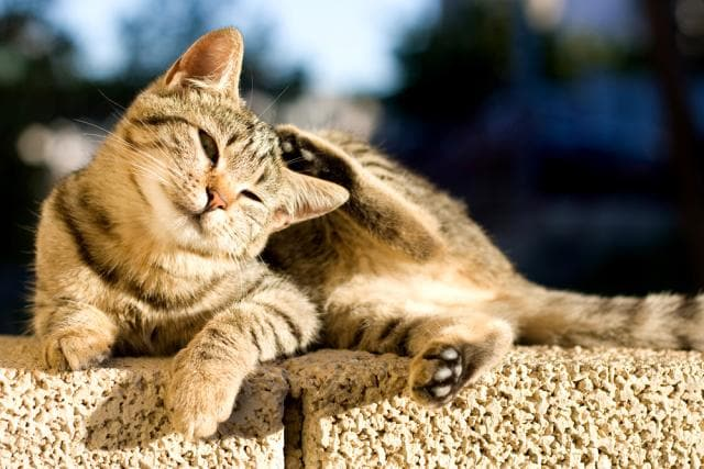 Cats-and-Compulsive-Scratching-Licking-and-Chewing