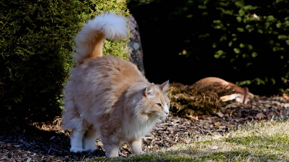 Urine-Marking-in-Cats