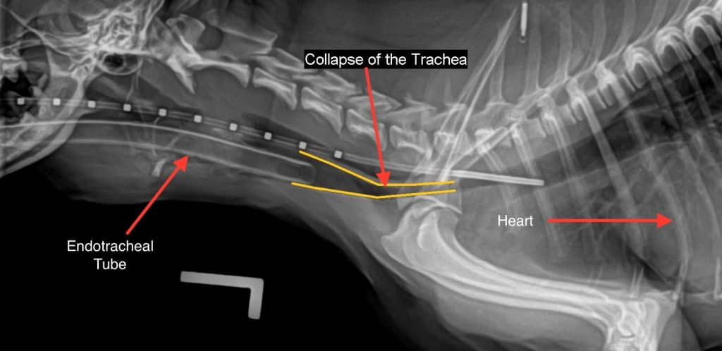 Tracheal-Collapse-in-Dogs